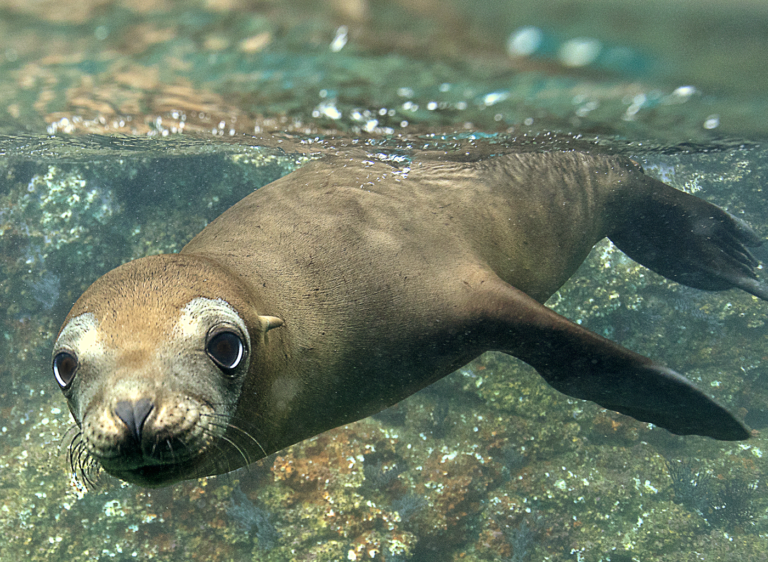 Snorkeling and Scuba Diving with Playful Sealions in the Sea of Cortez, Baja California