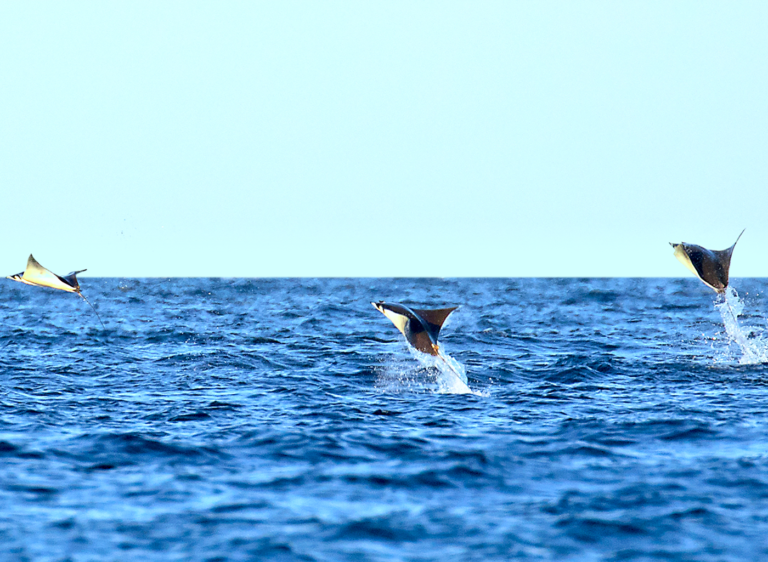 Leaping Rays in the Sea of Cortez - TAILHUNTER TOURS.