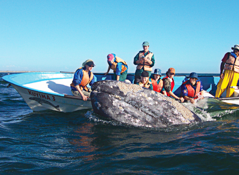 Gray Whales in the Sea of Cortez - Tailhunter Whale Watching Tours.