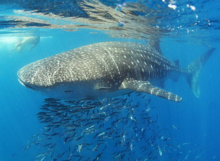 Whale Shark Snorkel Tours in the Sea of Cortez with TAILHUNTER, La Paz - Baja California